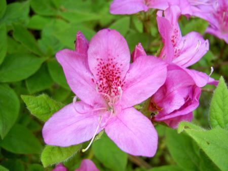 花冠は5中裂して、上弁に濃い色の斑点がある