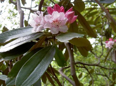 枝先に10花前後が付く