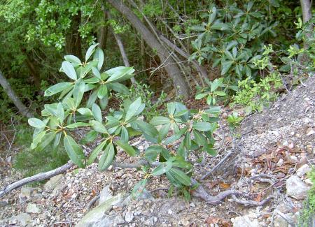 シャクナゲの幼木
