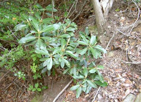シャクナゲの稚樹