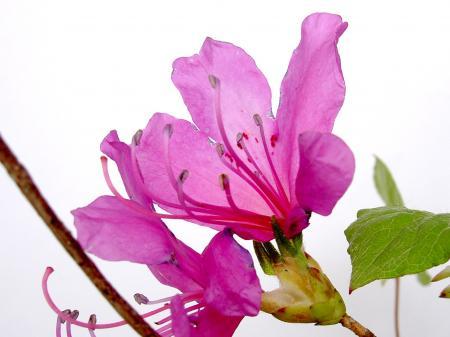ユキグニミツバツツジの花