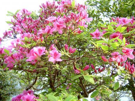 濃色ピンク系のミヤコツツジ