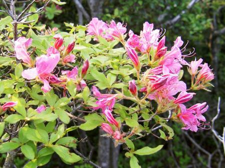 葉が小さく柄が密生するのはヤマツツジの血筋