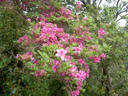 小さな花が密生するのはヤマツツジ型