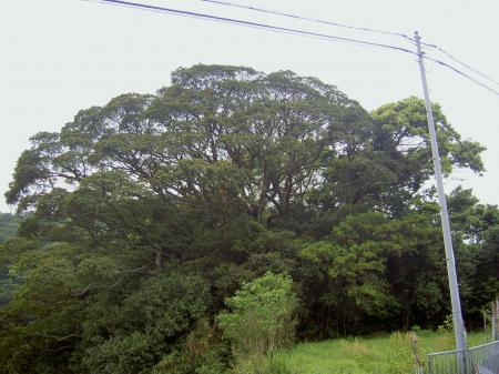 諭鶴羽山系で屈指の巨木