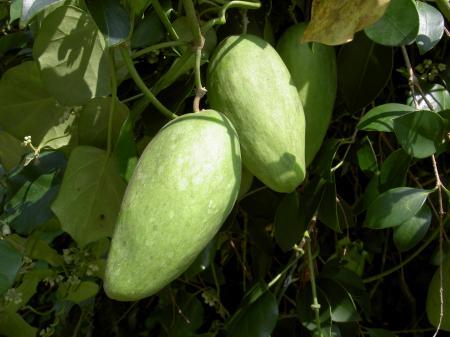 キジョランの果実