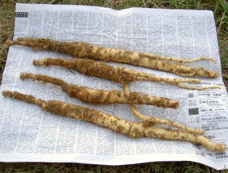 掘り上げたハマボウフウの根茎