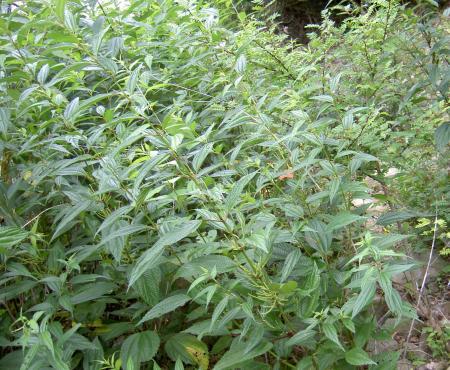 ナガバヤブマオの草叢