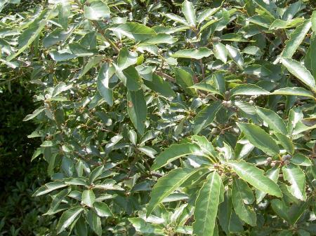 コナラの枝葉