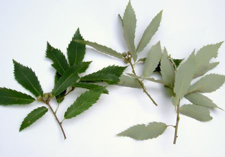 コナラの葉の表と裏