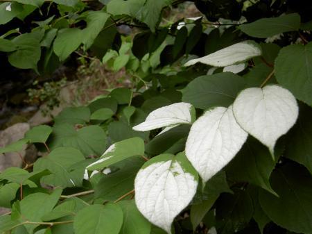 白変するマタタビの葉