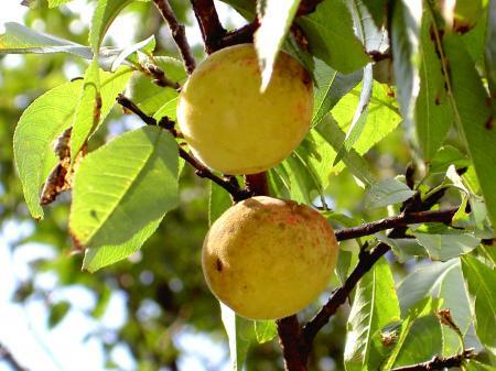 野生モモの果実が色づく