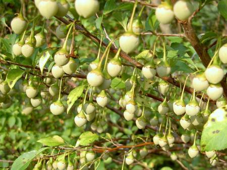 エゴノキの果実