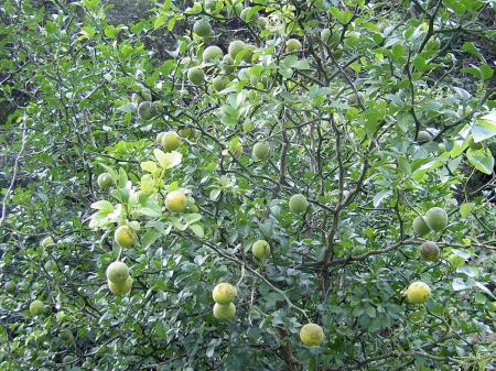 カラタチの果実が色づく