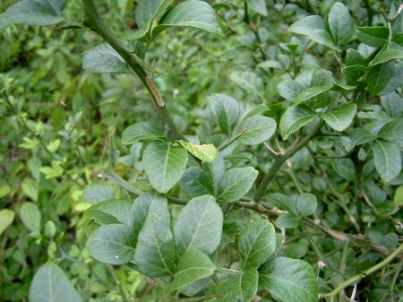 カラタチの葉