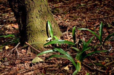 林床のオモト