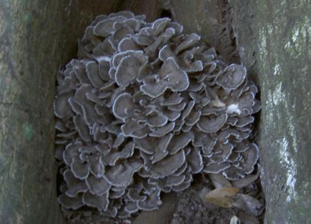 シイの木の根際に出たマイタケ
