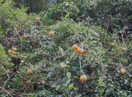 野生化したカキの木にも実が成る
