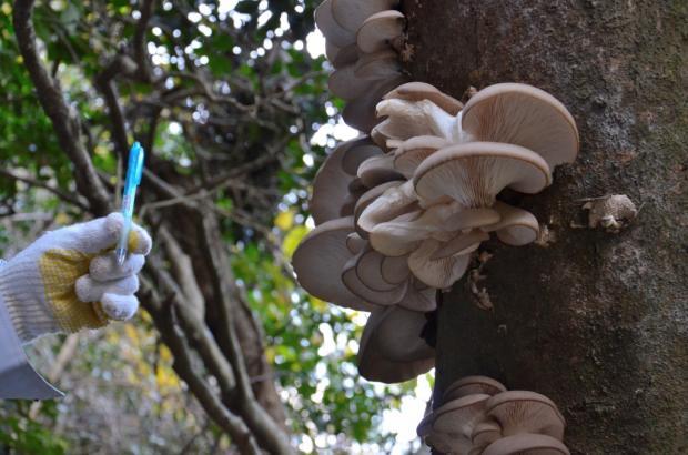 エノキの枯損木に発生したヒラタケ