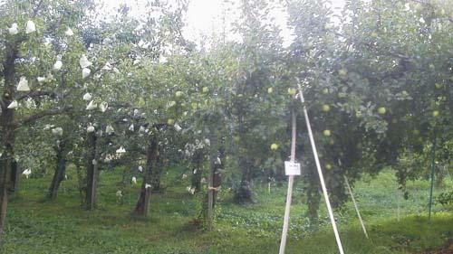 ラフランス・りんご