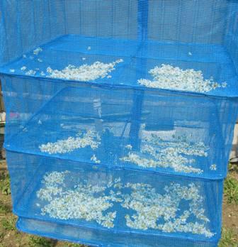 乾燥カモミール (1)