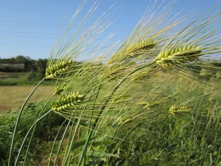 六条大麦 (2)