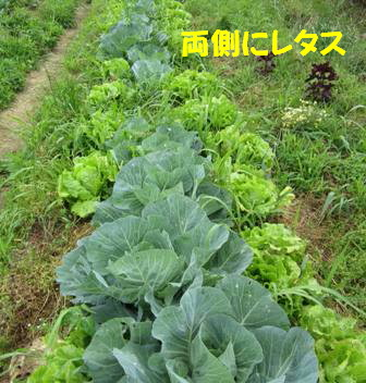 キャベツ3畝 (1)