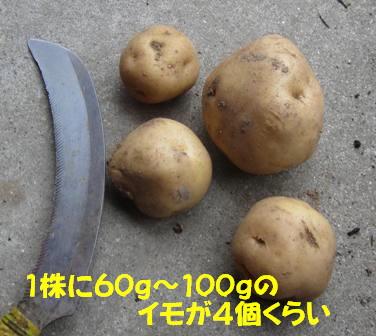 男爵 (収穫)