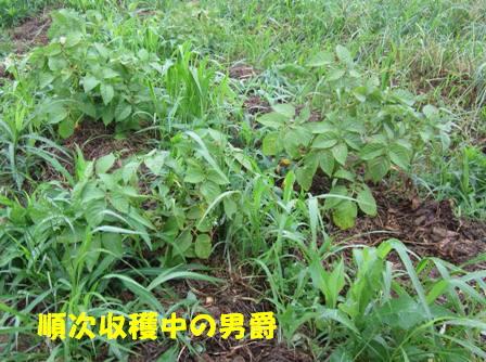 男爵 (収穫中)