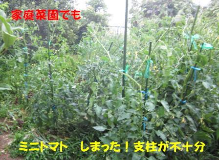 菜園のミニトマト