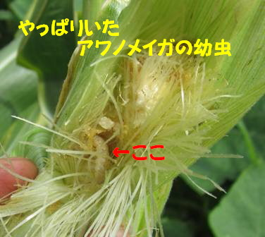 中にアワノメイガの幼虫1