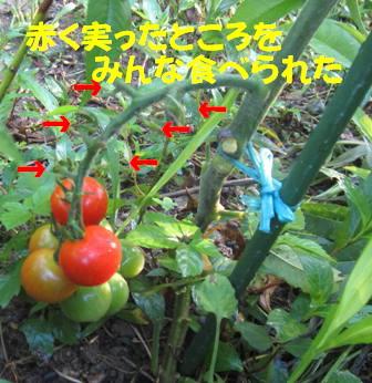 被害トマト1