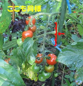 被害トマト2
