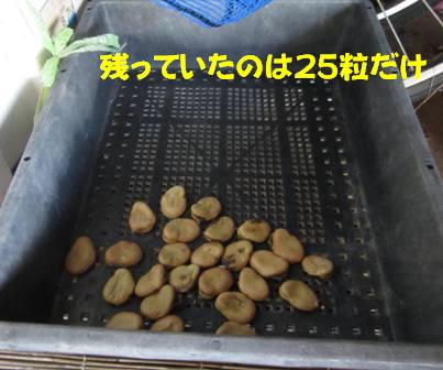 空豆被害 (2)