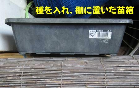 空豆被害 (1)