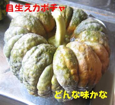 カボチャ収穫 (1)
