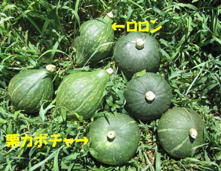 カボチャ収穫 (2)