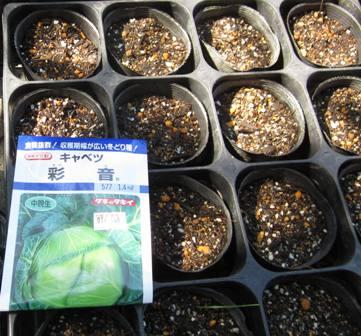 キャベツ種蒔き (2)
