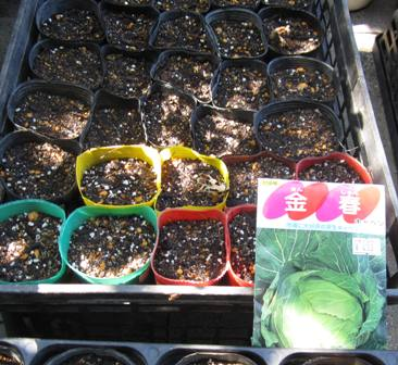 キャベツ種蒔き (1)
