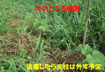 キュウリ (2)