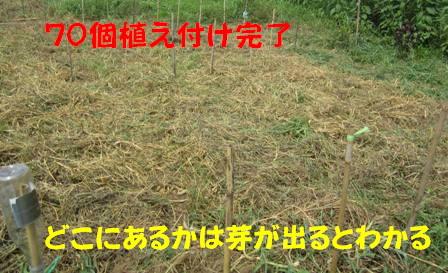 秋ジャガ植え付け開始4