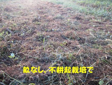 キャベツ苗定植 (2)
