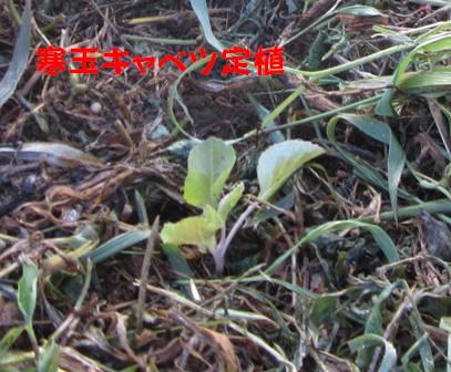 キャベツ苗定植 (1)