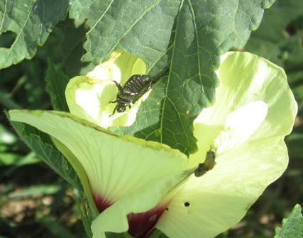 オクラと虫など (1)