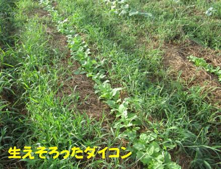 ダイコン (1)