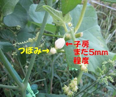 ハヤトウリ (1)