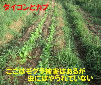 ダイコン (2)