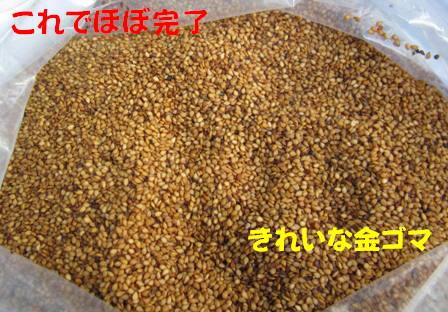 金ゴマ収穫 (3)
