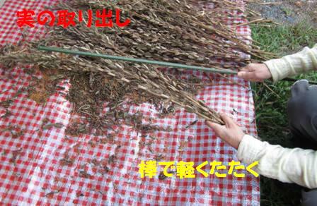 金ゴマ収穫 (2)