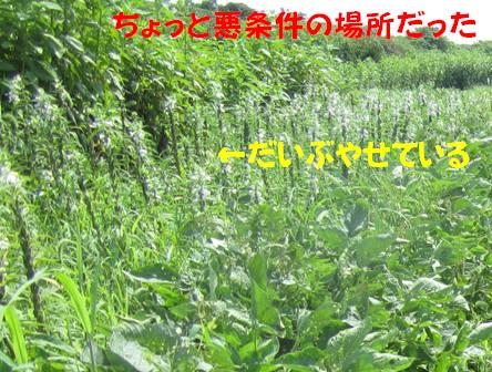金ゴマ収穫 (1)